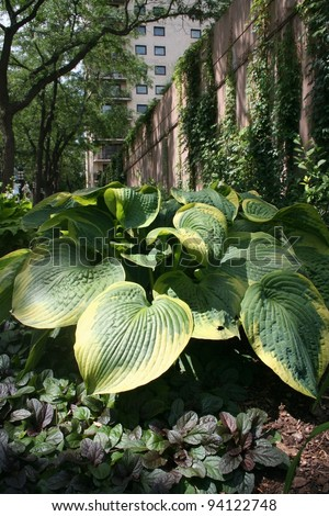 Hostas in Minneapolis Greenbelt