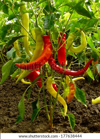 hot chili peppers growing in a garden - stock photo