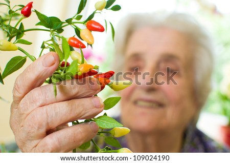 hot chili peppers, plant - stock photo