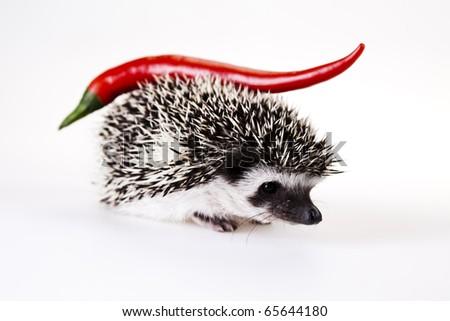 Hot Hedgehog - stock photo