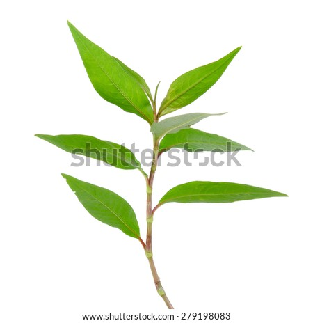 Hot mint, Vietnamese mint isolated on white background.