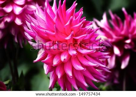 Hot Pink Dahlia Macro With Darkened Background - stock photo