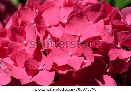 Hot pink hydrangea flower closeup background stock photo royalty hot pink hydrangea flower closeup background mightylinksfo