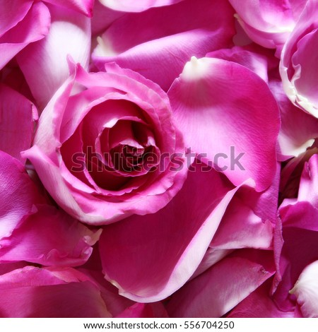 Hot pink rose petals blossom square stock photo image royalty hot pink rose petals and blossom square background mightylinksfo
