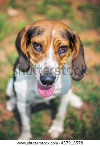 Hound Beagle Mix in Shelter