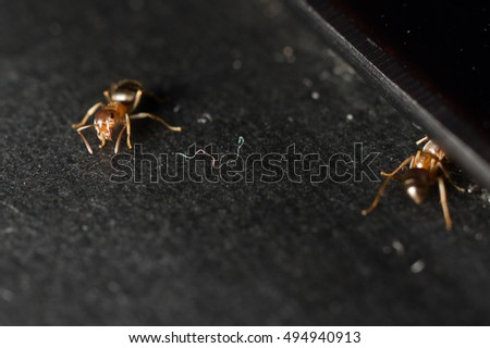 House Ants Eating Food Crumbs On Black Kitchen Counter
