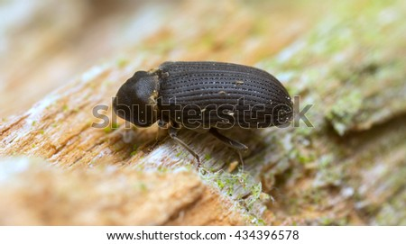 House borer, Hadrobregmus pertinax on pine wood - stock photo