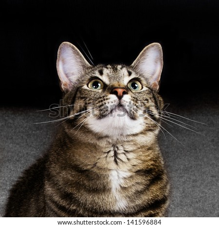 House Cat Looking Upwards with Excitement - stock photo