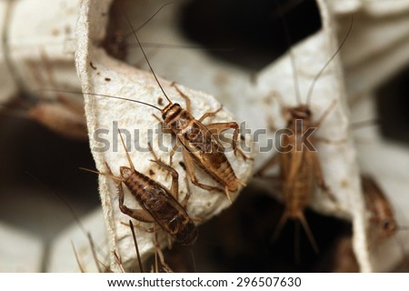 House cricket (Acheta domestica) on egg pack. Wild life animal. - stock photo