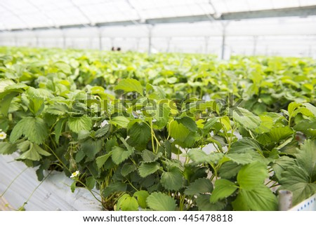 House cultivation of strawberries