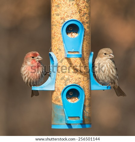 House Finch, Carpodacus mexicanus, couple at feeder in winter - stock photo