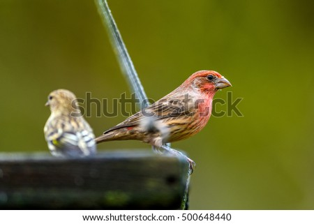 House Finch (Carpodacus mexicanus) eating from a suet feeder