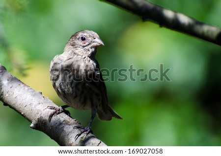 House Finch with Avian Conjunctivitis Disease