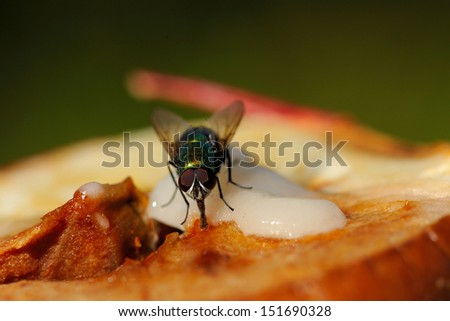 House-fly feeding on apple and honey - stock photo