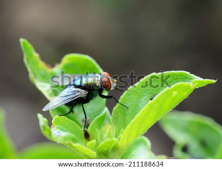house fly(flies) close up sitting on green leaf