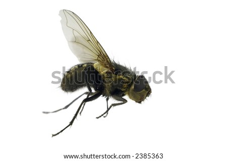 House fly in hurry. Isolated on white background. Macro - stock photo
