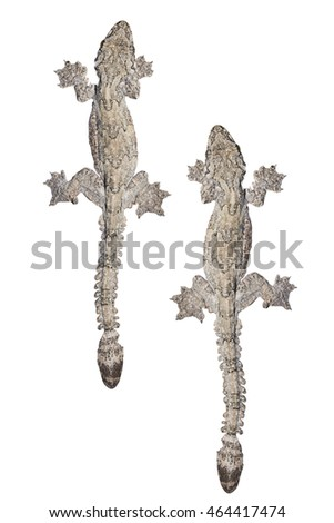 House gecko. Isolated on white background