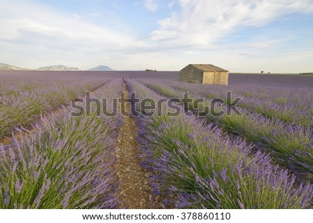 House in a lavender field, Plateau de Valensole, Provence, France - stock photo