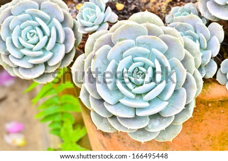 House leek Succulent - stock photo