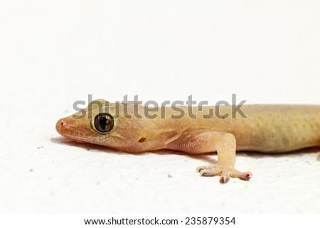 House lizard - gekco on the white wall - stock photo