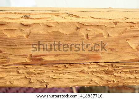 house longhorn beetle or old house borer attack on spruce wood ( Hylotrupes bajulus ) - stock photo