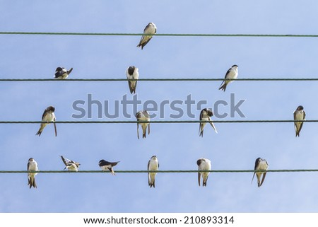 House Martins (Delichon urbica), young and adults, perched and grooming on wires in midsummer - stock photo