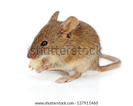 House mouse eating piece of cheese (Mus musculus) - stock photo