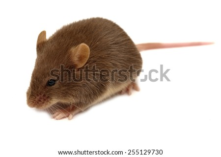 House mouse - Mus musculus isolated on white - stock photo