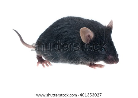 house mouse (Mus musculus) isolated on white