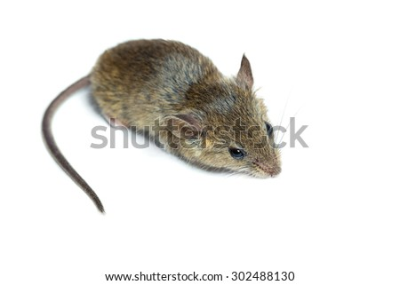 house mouse on a white background