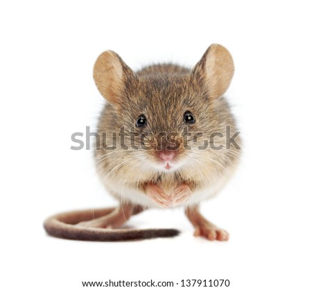 House mouse standing on rear feet (Mus musculus) - stock photo