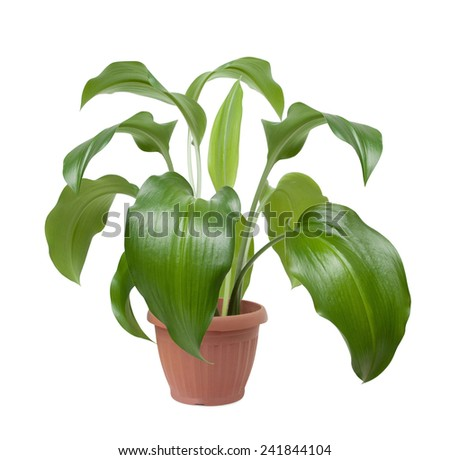house plant in pot isolated on white background - stock photo