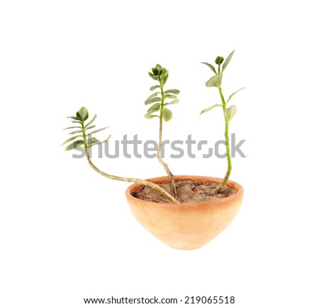 House plant Isolated over white. Shoots kalanchoe in a clay pot. - stock photo