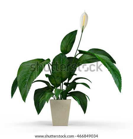 House plant Kala in a flower pot isolated on white background. 3D Rendering, Illustration.