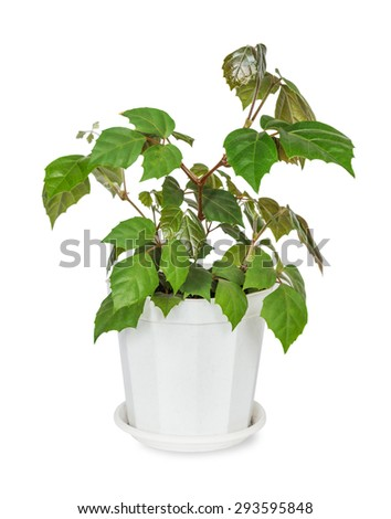 House plant Parthenocissus Inserta in the white plastic flower pot isolated on a white background - stock photo