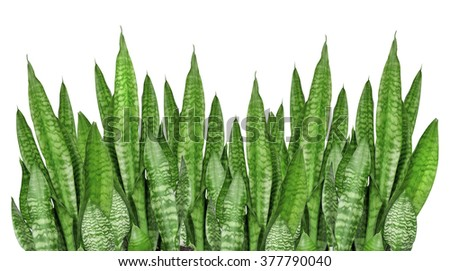 House plant Sansevieria isolated on a white background - stock photo