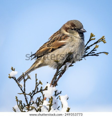 House Sparrow atop an Arborvitae in Winter