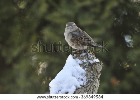 House sparrow female on a tree in winter - stock photo