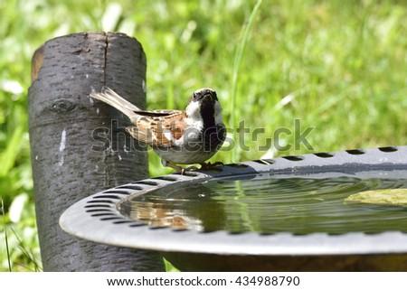 House sparrow in a bird bath - stock photo