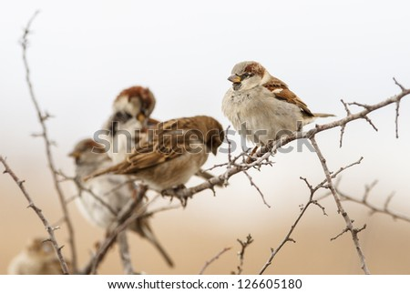 House Sparrow on branch front the beautiful background - stock photo