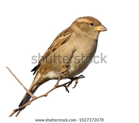 House Sparrow on branch, Passer domesticus, isolated on white