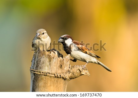 House Sparrow  on nature background ,thailand