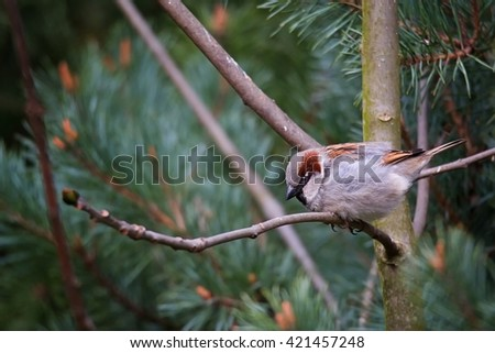 House Sparrow (Passer domestics) on a log. My first attempts at wild birds - stock photo
