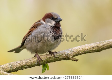 house sparrow - Passer domesticus - stock photo