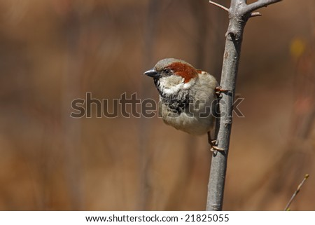 House Sparrow (Passer domesticus domesticus), male on small branch.