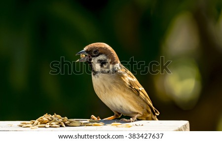 house sparrow - Passer domesticus - eating some rice grain