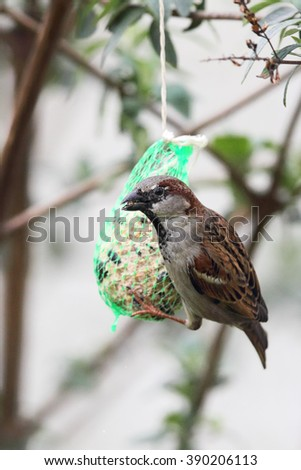 House Sparrow (Passer domesticus) feeding on a fat ball in the garden.