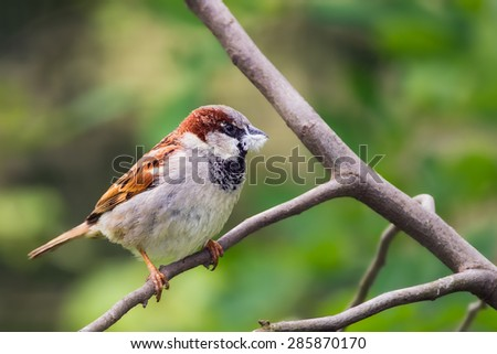 House sparrow (Passer domesticus) holding a piece of fluff in its beak - stock photo