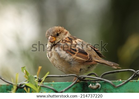 house sparrow ( Passer domesticus ) standing on wire fence - stock photo
