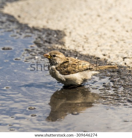 House Sparrow (Passer domesticus) washing